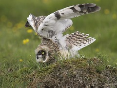 Short-eared Owl 18 (brandugla) (Svenni and his Icelandic birds.) Tags: shortearedowl asioflammeus brandugla