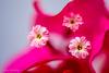 bougainvillea flowers (z.benabbou) Tags: flower closeup nikon bougainvillea d800 amazingdetails