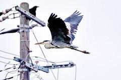 Flying Grey-Heron /  (Dakiny) Tags: summer bird heron nature birds animal animals japan landscape paddy july yokohama     paddyfield  greyheron satoyama        jige 2013 rurallandscape    aobaku   japanesebird    2013   jigecho jigefurusatovillage