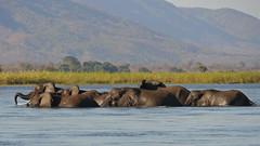 Elephants crossing the Zambezi River (NewbyGaronga) Tags: panasonic elephants zambia africanwildlife zambeziriver
