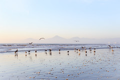(efepv) Tags: chile sea birds landscape rebel xt coquimbo playa paisaje aves oceano laserena t3i xti