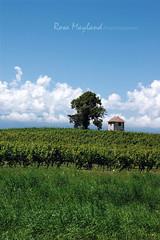 Compesière - Vineyards (Rosa's Yummy Yums) Tags: 50mm switzerland landscapes nikon suisse geneva vineyards agriculture genève 50f14 nikond40 compesière