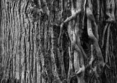 20130814 (zzkt) Tags: brussels monochrome forest vines pattern bruxelles bark be brussel f28 greyscale bruxxel iso160 brüsel leicasummiluxm35mmf14asph leicam9 ¹⁄₃₀sec ¹⁄₃₀secatf28