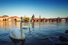 Swan's Bridge (Philipp Klinger Photography) Tags: old bridge light sunset summer reflection bird tower water animal river 1 golden evening town swan nikon cityscape republic czech prague charles praha hour czechrepublic charlesbridge oldtown philipp v1 mala vltava goldenhour kampa strana moldau malastra