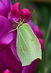 Female Brimstone (AndyorDij) Tags: empingham gardens insects rutland uk 2013 butterfly brimstonebutterfly andrewdejardin