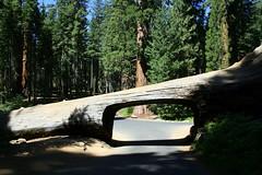 Sequoia National Park (K e v i n) Tags: california road ca vacation tree sierranevada sequoianationalpark sequoias canoneosdigitalrebelxti