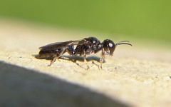 Crossocerus annulipes m - 16 VI 2013 (el.gritche) Tags: hymenoptera crabronidae france 40 garden crossocerus annulipes wasp guepe