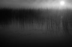 Niagara Reeds #3 (Joe Iannandrea) Tags: morning blackandwhite mist ontario canada film monochrome 35mm river reeds photo niagara forterie