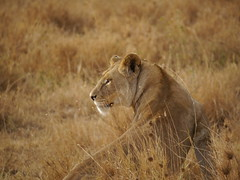 Lioness (David_R_Howell) Tags: tanzania lion panasonic safari serengeti g3 hfs045200
