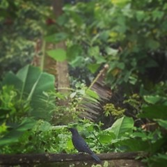 #นกกระเบื้องผา #BlueRockThrush #นกอพยพมาจากแดนไกลไม่มีในบ้านเรา #ลำตัวและปีกสีน้ำเงินเข้ม #ลงมากินหนอนใกล้ที่พัก #ถ่ายจากไอโฟนสี่เอสได้แค่นี้