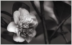 Growing Things (1): Rose (ShinyPhotoScotland) Tags: blackandwhite art nature rose closeup composite composition manipulated vintage lens photography one scotland flora warm soft dof emotion little unitedkingdom bokeh space small places rules calm equipment negativespace filter numbers innocence growing simple toned platinum contrasts portpatrick tranquil stacked contentment thirds elegance existentialist dumfriesandgalloway gbr sumptuous digikam tonemapped shapeandform rawconversion sharpsoft enfuse rawtherapee digitalred darktable digitallowpass sony55210mm