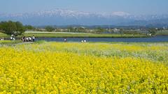 Field mustard (bamboo_sasa) Tags: flower field yellow japan spring 日本 mustard niigata 花 春 菜の花 新潟