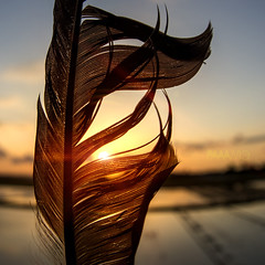 Sunset and Feather (paaawic) Tags: sunset sky reflection bird nature birds japan reflections landscape japanese natureza feather sunsets