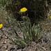 alpine flames, Pyrrocoma apargioides