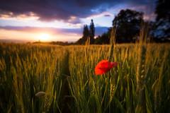 Bouquet printanier (dom.guillot) Tags: fleur coucher champ coucherdesoleil coquelicot bl crale