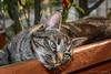 My Gimmy (Leonardo Piccioni) Tags: pets nature animals cat nikon nikkor1685vr nikonclubit nikonsb700 naturalisticphotographic