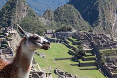 Llama Love, on Top of the World, Machu Picchu