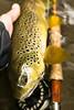 PA Wild (Joe Janiak) Tags: canon sage trout browntrout galvan canon50mm14 canon60d ramblephotography keepemwet flyfishingpa2015paspring