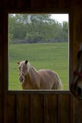 Belgian Horse (jamesahawley) Tags: horse farming farms belgian workhorse