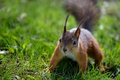 ATA_9484 (Photographer Atacan Ergin) Tags: squirrel orava kurre
