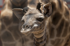 Masai Giraffe Calf Deemed Healthy and Strong after First Medical Exam at San Diego Zoo (San Diego Zoo Global) Tags: ca usa baby cute nature animals sandiego wildlife giraffe calf sandiegozoo masai