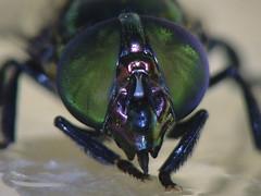 mosca (J Miyagui) Tags: macro eye nature insect fly natureza inseto olho mosca blowfly varejeira