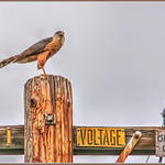 Cooper's Hawk in HDR thumbnail