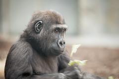 2015-05-16-16h09m52.BL7R4878 (A.J. Haverkamp) Tags: germany mnchen bayern zoo gorilla munchen tierpark muenchen dierentuin tano hellabrunn westelijkelaaglandgorilla canonef100400mmf4556lisusmlens httpwwwtierparkhellabrunnde pobpragueczechrepublic dob08112011