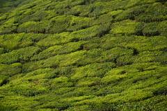 India - Kerala - Munnar - Tea Plantation - 73 (asienman) Tags: india mountains kerala hills teafactory teaplantation munnar teapicker asienmanphotography teaplantagens
