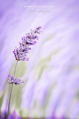 Juegos florales II (javiruiz) Tags: lavanda lavandin macro morado brihuega flor coleccion serie naturaleza bokeh desenfoque fd50 xt1 javierruizherrera