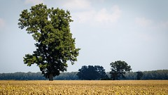 New Melle, Missouri summer 2016 (bd_c2c) Tags: ifttt 500px 70d adobe boone township canon colorful efs55250mm f456 is stm eos farmland field harvest isolated landscape lightroom lonely missouri natural beauty nature new melle photoshop summer tree treeline william davis photography williamdavisphotgraphysmugmugcom
