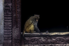 Nepal(2) (tullio dainese) Tags: kathmandu nepal scimmia monk