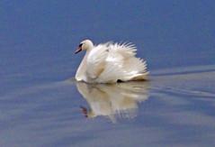 Rusanda Swan (L.L.V.) Tags: rusanda banja spa lake jezero swans labudovi national park birds beautiful nature travel tourism destination srbija vojvodina serbia banat melenci