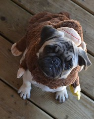 Boo The Monkey Pug (DaPuglet) Tags: pug pugs dog dogs animal animals pet pets costume monkey halloween cute puppy