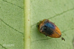 Jewel beetle (Trachys sp.) - DSC_2766 (nickybay) Tags: malaysia johor gunungpulai trachys buprestidae jewel beetle