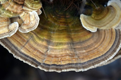 DSC_2631 (Luciano Felipe) Tags: fungo cogumelo fungus mushroom