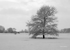 36-IMG_1438 (hemingwayfoto) Tags: baum facebookalbum holz jahreszeit landschaft laubbaum leinemasch meinbaum schnee schwarzwei wetter wetteralbum wiese winterbaum