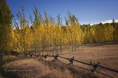 golden slumber... (J. Kaphan Studios) Tags: fujixt1 autumn fall fallcolors aspens fenceline fence landscape landscapephotography mypubliclands jacksonhole wyoming travel travelphotography
