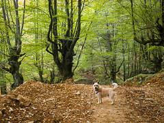 Rocco visita el hayal de Aloos. (RosanaCalvo) Tags: aloos cantabria espaa europa hayedo rocco hayal otoo paseo perro