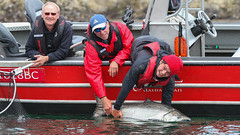 60626384 (QCL Shooter) Tags: qcl haidagwaii bcfishing salmon sportfishing queencharlottelodge fishingfirstclass adventure chinook halibut cr catchrelease