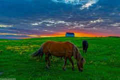 The midnight sun horses... (Lassetjus photo) Tags: y2013 island norurlandeystra is iceland sunset midnightsun icelandic horses house
