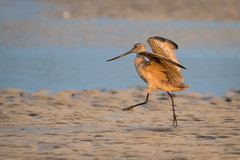 Tippy Toes (gseloff) Tags: marbledgodwit bird wildlife bolivarflatsshorebirdsanctuary galvestoncounty texas houstonaudubonsociety gseloff