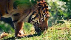 The Ultimate Chore (Oddernod) Tags: daytime tamron sandiegosafaripark tiger bigcat cat sumatrantiger canon70d outdoor zoo tamron70300 sandiego animal