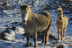 The young foal and its friend (Svava Tora) Tags: snow winter foal grey icelandichorses hardship outside beauty