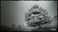 Lone Pine #2 (dougkuony) Tags: fontenellepark pine evergreen tree morning selenium mono monochrome bw blackandwhite hdr