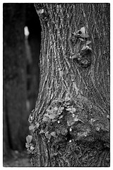Trunk (A_und_O) Tags: contaxrtsii contax hp5 id11 ilford blackwhite blackandwhite noirblanc schwarzweiss analog ishootfilm hp5plus tree baum baumstamm trunk