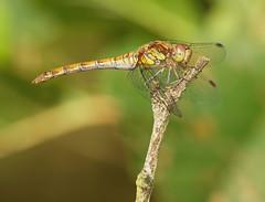 2016_09_0646 (petermit2) Tags: commondarter commondarterdragonfly darter dragonfly oldmoor dearnevalley barnsley rotherham southyorkshire yorkshire rspb