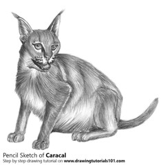 Caracal with Pencils (drawingtutorials101.com) Tags: caracal caracals wild animals cats sketching pencil sketch sketches drawing draw speeddrawing timelapse timelapsevideo how