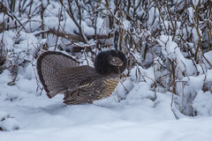 Ruffed Grouse (robertdownie) Tags: canada forest mountains winter cold snow woods ice bc hills wilderness british columbia remote courtship drumming wells ruff barkerville bowron cariboo ruffed grouse bonasa umbellus