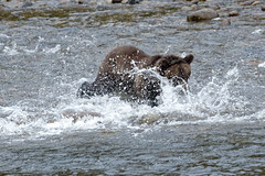 Grizzly bear in British Columbia (bursar103) Tags: grizzlybear bear grizzly canada britishcolumbia wildlife outdoors
